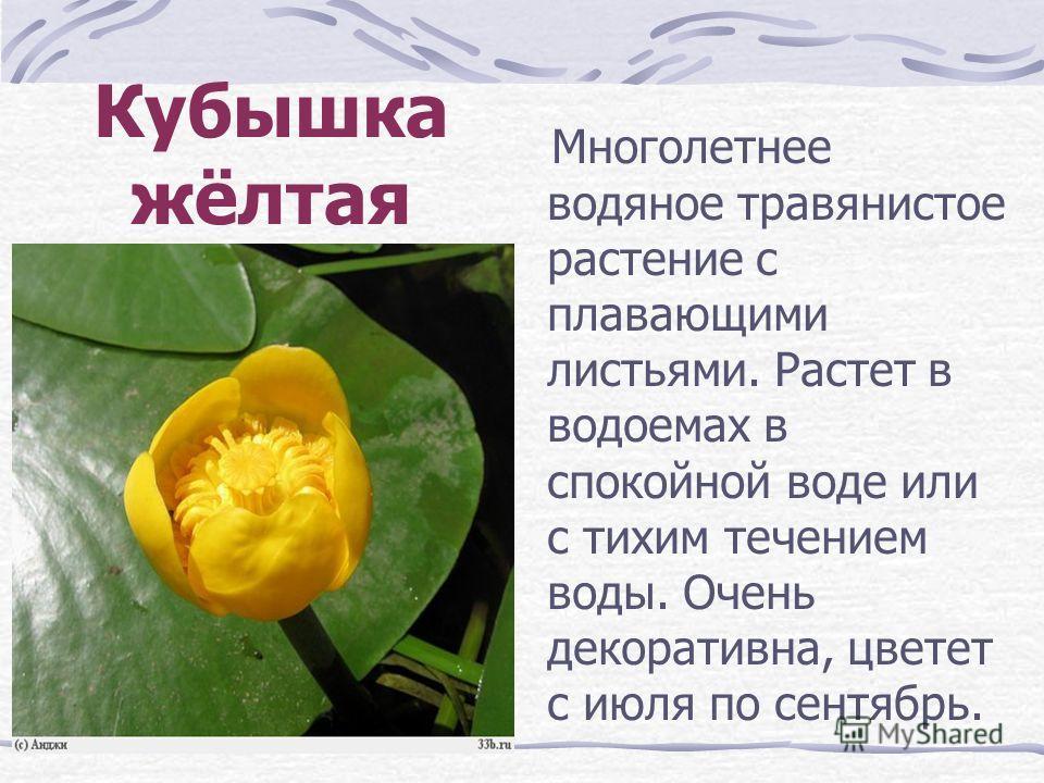 Кубышка жёлтая Многолетнее водяное травянистое растение с плавающими листьями. Растет в водоемах в спокойной воде или с тихим течением воды. Очень декоративна, цветет с июля по сентябрь.