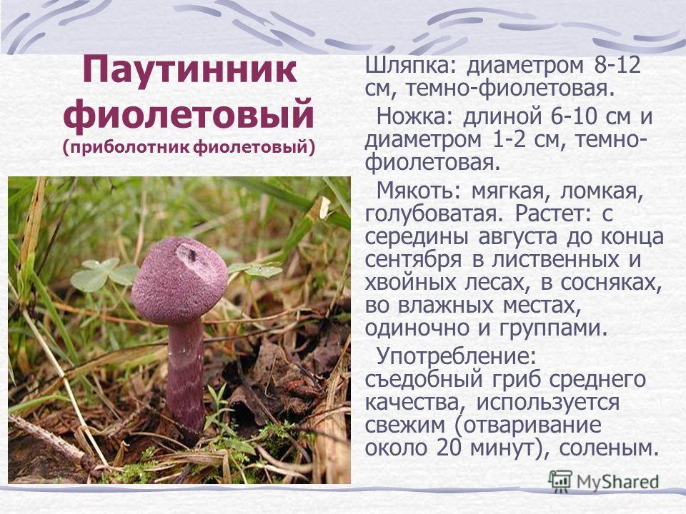 Паутинник фиолетовый (приболотник фиолетовый) Шляпка: диаметром 8-12 см, темно-фиолетовая. Ножка: длиной 6-10 см и диаметром 1-2 см, темно- фиолетовая. Мякоть: мягкая, ломкая, голубоватая. Растет: с середины августа до конца сентября в лиственных и х