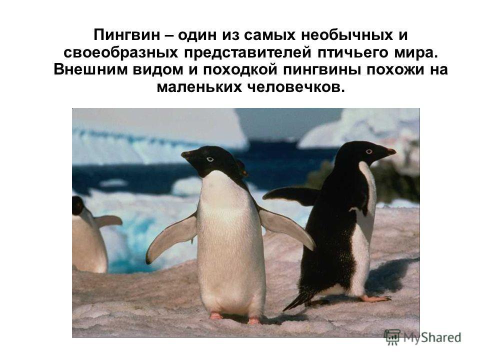 Пингвин – один из самых необычных и своеобразных представителей птичьего мира. Внешним видом и походкой пингвины похожи на маленьких человечков.