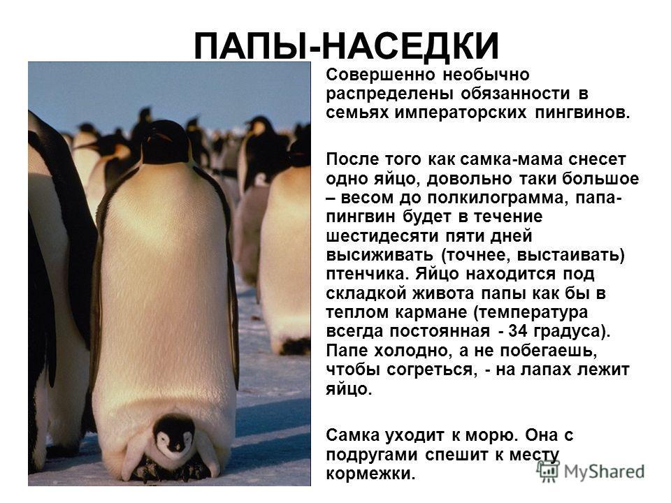 ПАПЫ-НАСЕДКИ Совершенно необычно распределены обязанности в семьях императорских пингвинов. После того как самка-мама снесет одно яйцо, довольно таки большое – весом до полкилограмма, папа- пингвин будет в течение шестидесяти пяти дней высиживать (то
