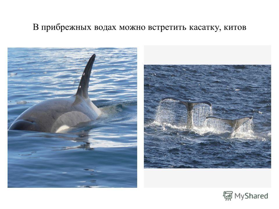 В прибрежных водах можно встретить касатку, китов