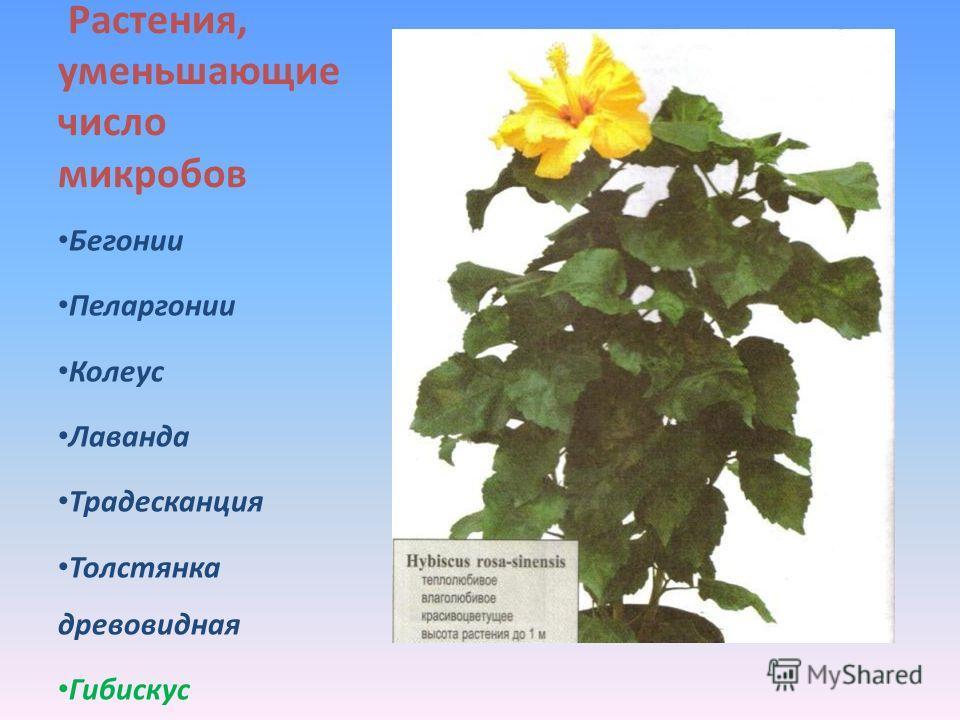 Растения, уменьшающие число микробов Бегонии Пеларгонии Колеус Лаванда Традесканция Толстянка древовидная Гибискус