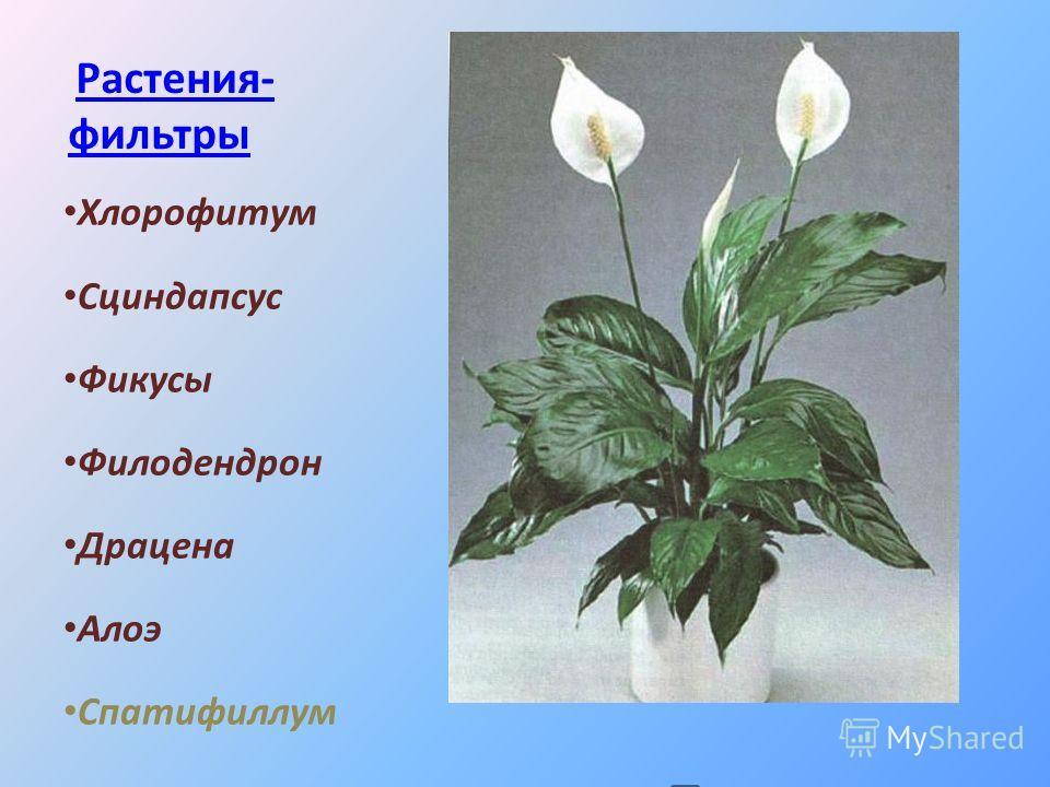 Растения- фильтры Растения- фильтры Хлорофитум Сциндапсус Фикусы Филодендрон Драцена Алоэ Спатифиллум
