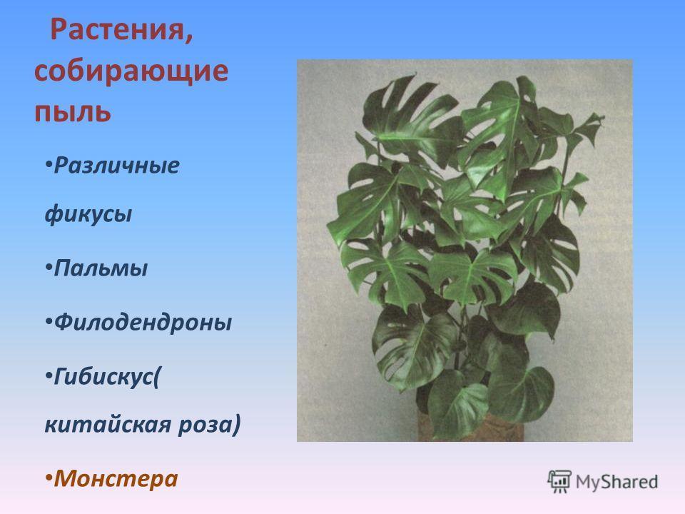 Растения, собирающие пыль Различные фикусы Пальмы Филодендроны Гибискус( китайская роза) Монстера