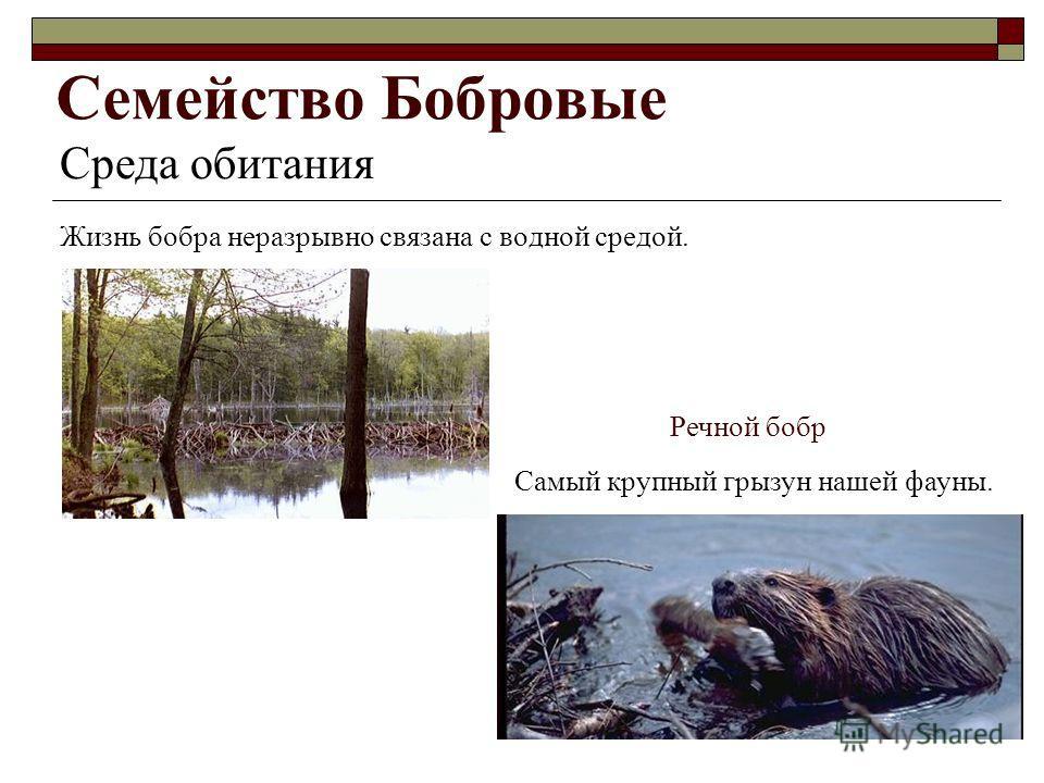 Семейство Бобровые Среда обитания Жизнь бобра неразрывно связана с водной средой. Речной бобр Самый крупный грызун нашей фауны.