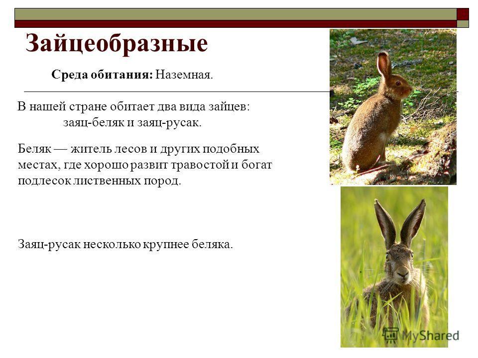Зайцеобразные Среда обитания: Наземная. В нашей стране обитает два вида зайцев: заяц-беляк и заяц-русак. Беляк житель лесов и других подобных местах, где хорошо развит травостой и богат подлесок лиственных пород. Заяц-русак несколько крупнее беляка.