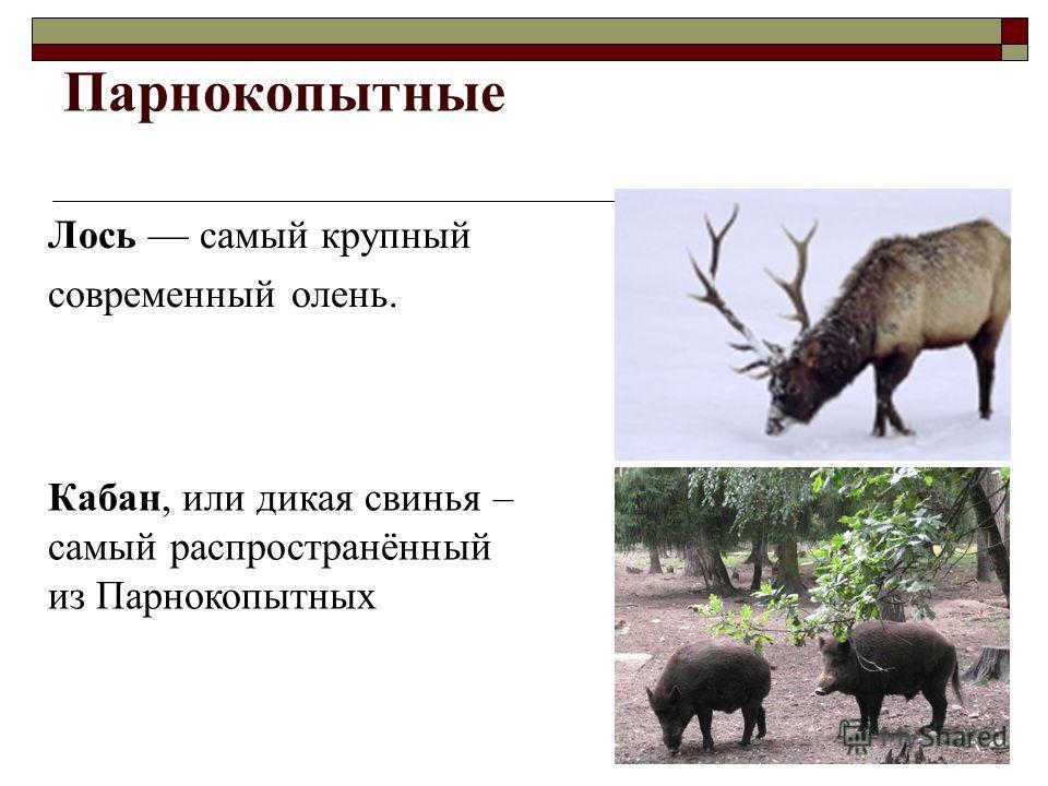 Парнокопытные Лось самый крупный современный олень. Кабан, или дикая свинья – самый распространённый из Парнокопытных
