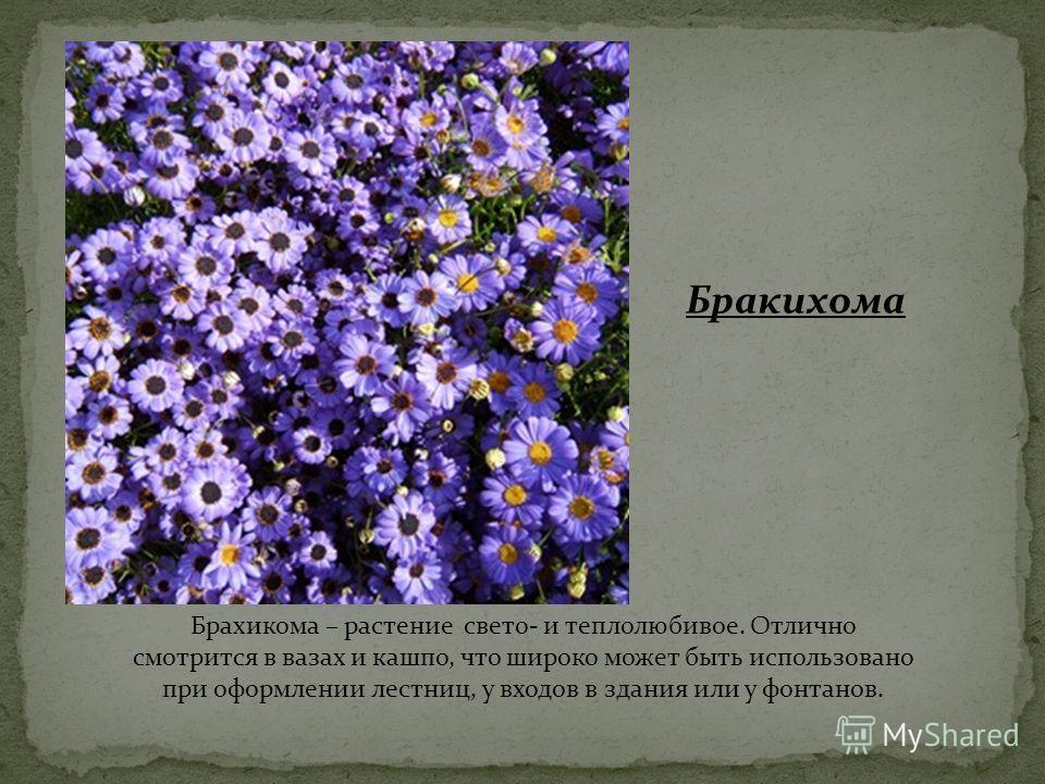 Брахикома – растение свето- и теплолюбивое. Отлично смотрится в вазах и кашпо, что широко может быть использовано при оформлении лестниц, у входов в здания или у фонтанов. Бракихома