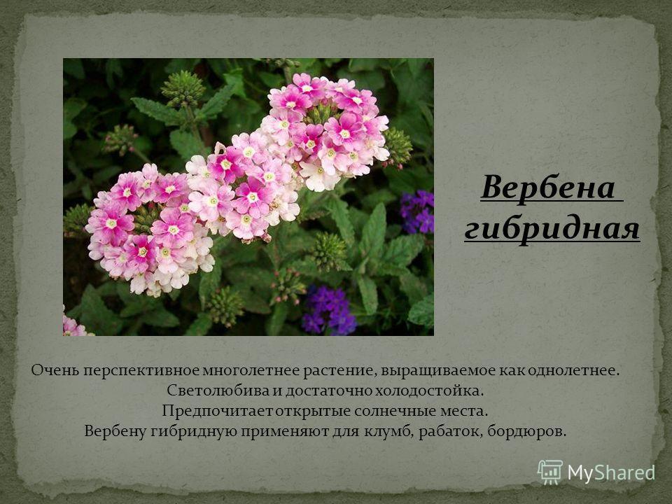 Очень перспективное многолетнее растение, выращиваемое как однолетнее. Светолюбива и достаточно холодостойка. Предпочитает открытые солнечные места. Вербену гибридную применяют для клумб, рабаток, бордюров. Вербена гибридная