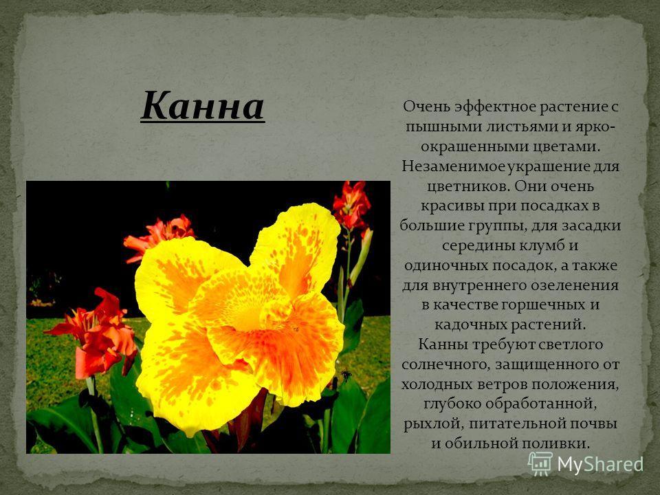 Очень эффектное растение с пышными листьями и ярко- окрашенными цветами. Незаменимое украшение для цветников. Они очень красивы при посадках в большие группы, для засадки середины клумб и одиночных посадок, а также для внутреннего озеленения в качест