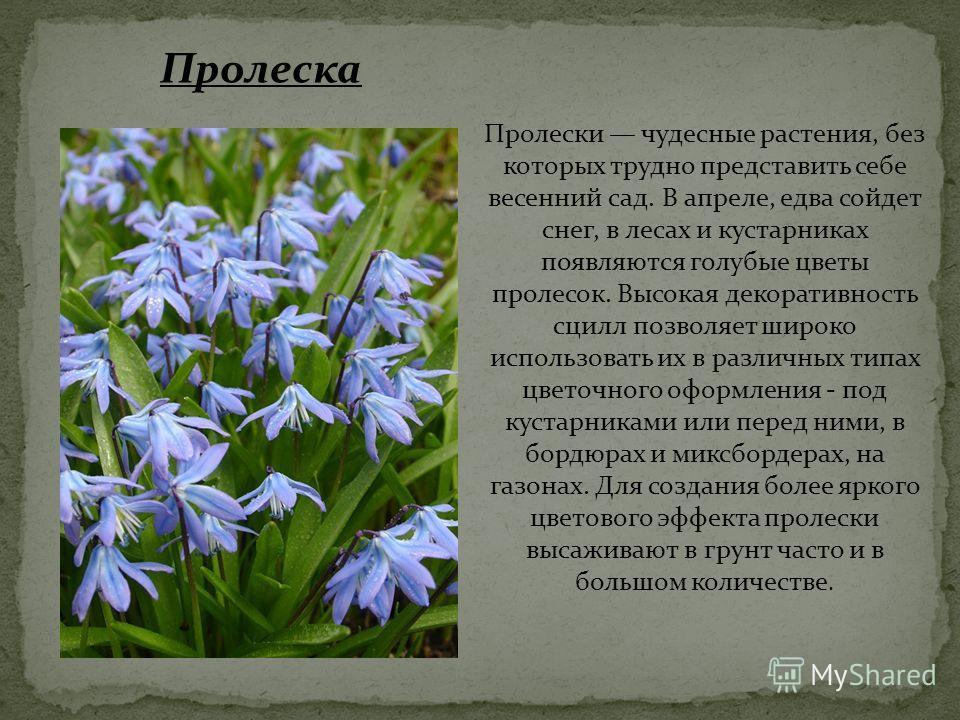 Пролески чудесные растения, без которых трудно представить себе весенний сад. В апреле, едва сойдет снег, в лесах и кустарниках появляются голубые цветы пролесок. Высокая декоративность сцилл позволяет широко использовать их в различных типах цветочн