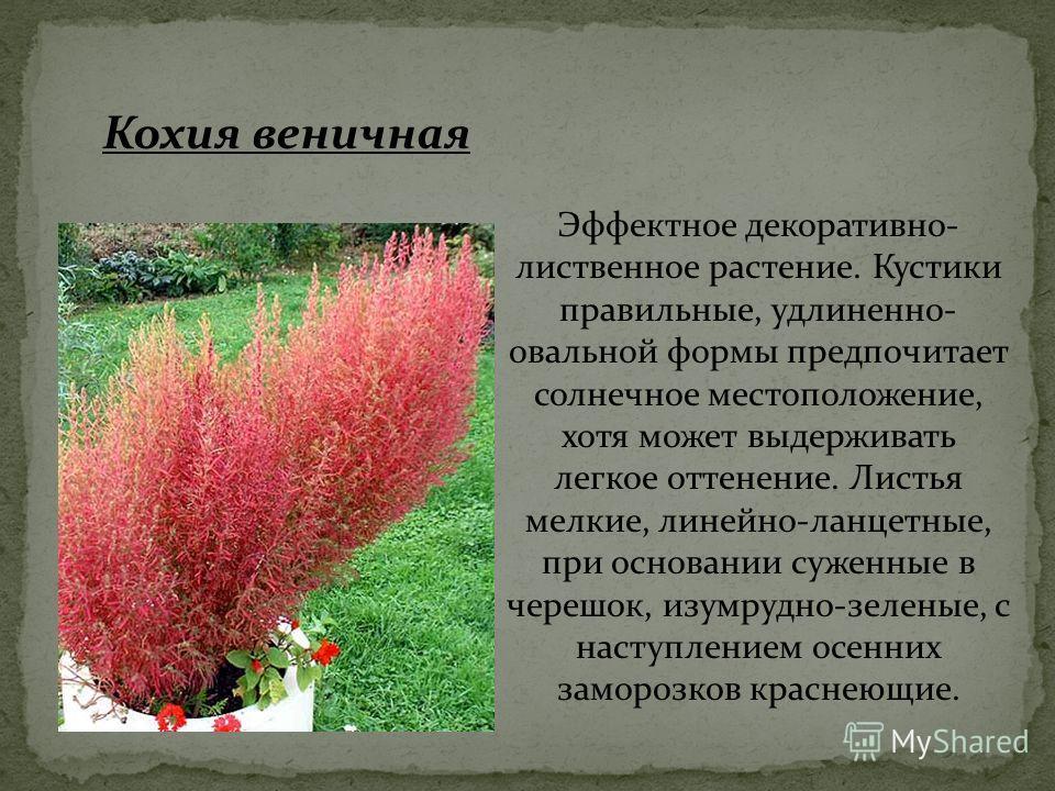 Эффектное декоративно- лиственное растение. Кустики правильные, удлиненно- овальной формы предпочитает солнечное местоположение, хотя может выдерживать легкое оттенение. Листья мелкие, линейно-ланцетные, при основании суженные в черешок, изумрудно-зе