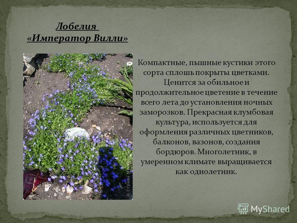 Компактные, пышные кустики этого сорта сплошь покрыты цветками. Ценится за обильное и продолжительное цветение в течение всего лета до установления ночных заморозков. Прекрасная клумбовая культура, используется для оформления различных цветников, бал
