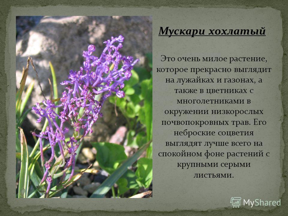 Это очень милое растение, которое прекрасно выглядит на лужайках и газонах, а также в цветниках с многолетниками в окружении низкорослых почвопокровных трав. Его неброские соцветия выглядят лучше всего на спокойном фоне растений с крупными серыми лис