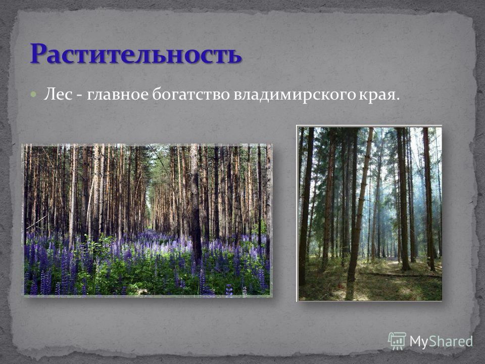 Лес - главное богатство владимирского края.