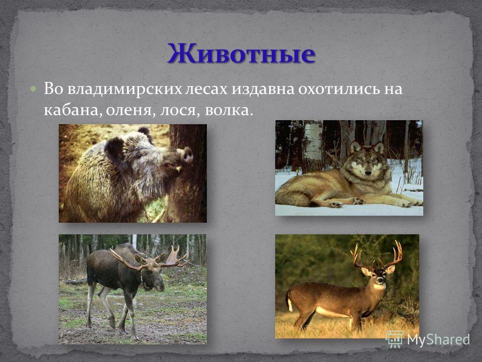 Во владимирских лесах издавна охотились на кабана, оленя, лося, волка.