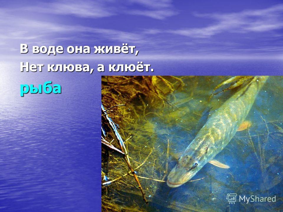 В воде она живёт, Нет клюва, а клюёт. рыба