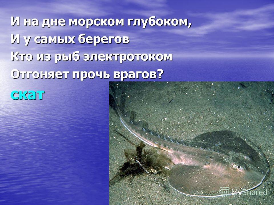 И на дне морском глубоком, И у самых берегов Кто из рыб электротоком Отгоняет прочь врагов? скат