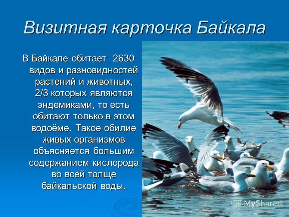 Визитная карточка Байкала В Байкале обитает 2630 видов и разновидностей растений и животных, 2/3 которых являются эндемиками, то есть обитают только в этом водоёме. Такое обилие живых организмов объясняется большим содержанием кислорода во всей толще