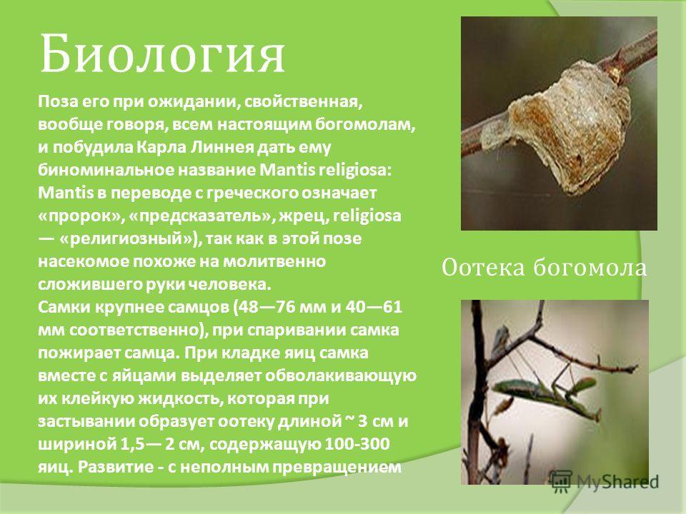Поза его при ожидании, свойственная, вообще говоря, всем настоящим богомолам, и побудила Карла Линнея дать ему биноминальное название Mantis religiosa: Mantis в переводе с греческого означает «пророк», «предсказатель», жрец, religiosa «религиозный»),