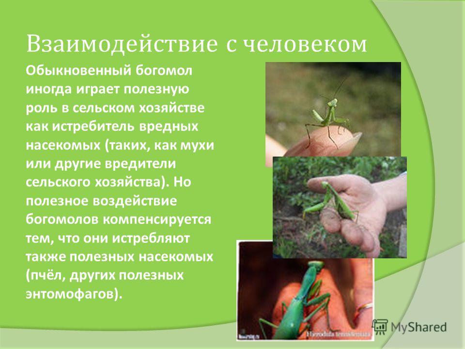 Обыкновенный богомол иногда играет полезную роль в сельском хозяйстве как истребитель вредных насекомых (таких, как мухи или другие вредители сельского хозяйства). Но полезное воздействие богомолов компенсируется тем, что они истребляют также полезны