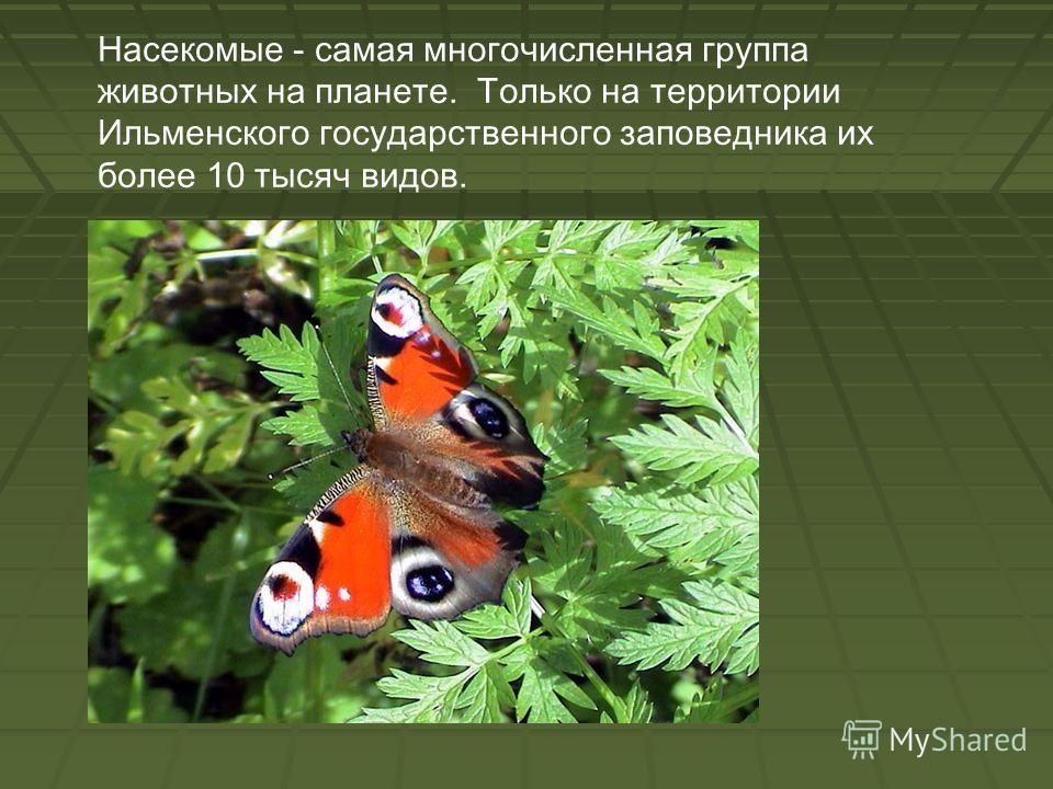 Насекомые - самая многочисленная группа животных на планете. Только на территории Ильменского государственного заповедника их более 10 тысяч видов.