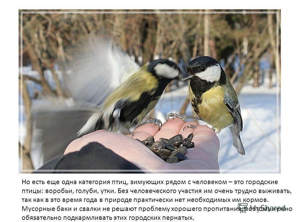 Но есть еще одна категория птиц, зимующих рядом с человеком – это городские птицы: воробьи, голуби, утки. Без человеческого участия им очень трудно выживать, так как в это время года в природе практически нет необходимых им кормов. Мусорные баки и св