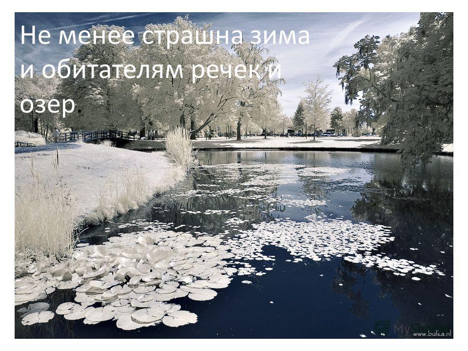 Не менее страшна зима и обитателям речек и озер.