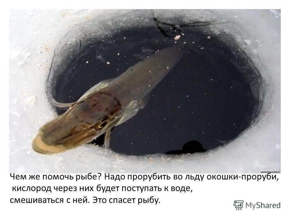 Чем же помочь рыбе? Надо прорубить во льду окошки-проруби, кислород через них будет поступать к воде, смешиваться с ней. Это спасет рыбу.