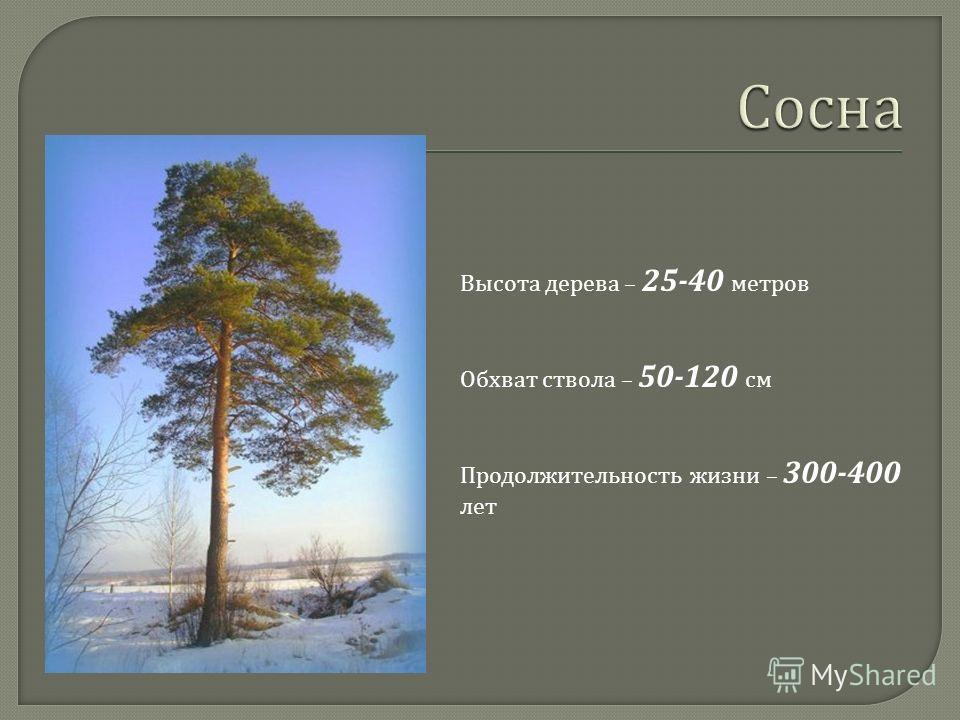 Высота дерева – 25-40 метров Обхват ствола – 50-120 см Продолжительность жизни – 300-400 лет
