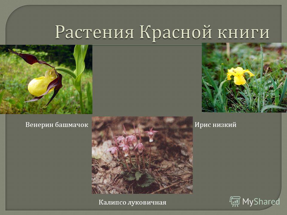 Венерин башмачок Ирис низкий Калипсо луковичная