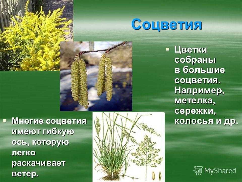 Соцветия Цветки собраны в большие соцветия. Например, метелка, сережки, колосья и др. Цветки собраны в большие соцветия. Например, метелка, сережки, колосья и др. Многие соцветия имеют гибкую ось, которую легко раскачивает ветер. Многие соцветия имею