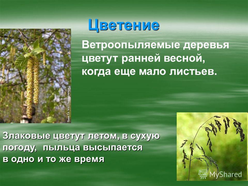 Цветение Ветроопыляемые деревья цветут ранней весной, когда еще мало листьев. Злаковые цветут летом, в сухую погоду, пыльца высыпается в одно и то же время