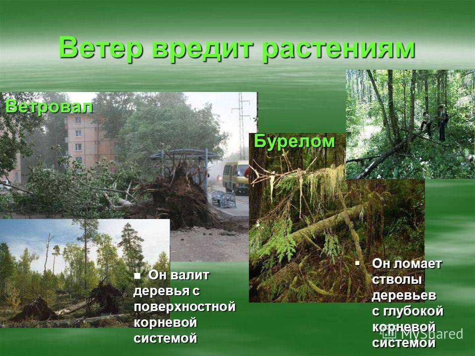Ветер вредит растениям Он валит деревья с поверхностной корневой системой Ветровал Он ломает стволы деревьев с глубокой корневой системой Он ломает стволы деревьев с глубокой корневой системой Бурелом