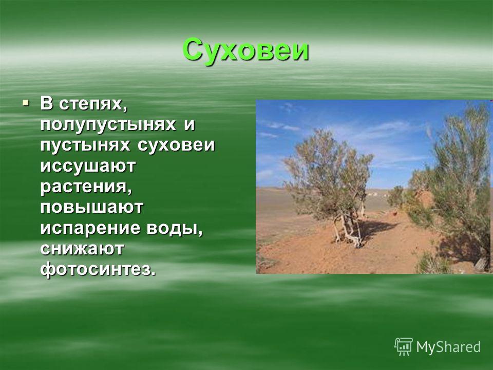 Суховеи В степях, полупустынях и пустынях суховеи иссушают растения, повышают испарение воды, снижают фотосинтез. В степях, полупустынях и пустынях суховеи иссушают растения, повышают испарение воды, снижают фотосинтез.