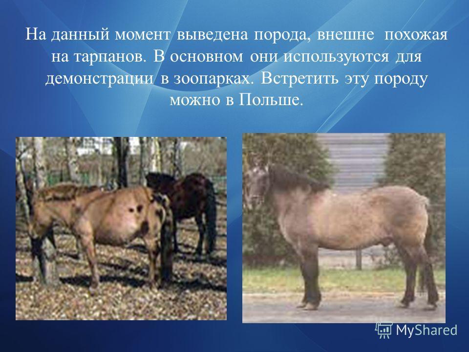 На данный момент выведена порода, внешне похожая на тарпанов. В основном они используются для демонстрации в зоопарках. Встретить эту породу можно в Польше.