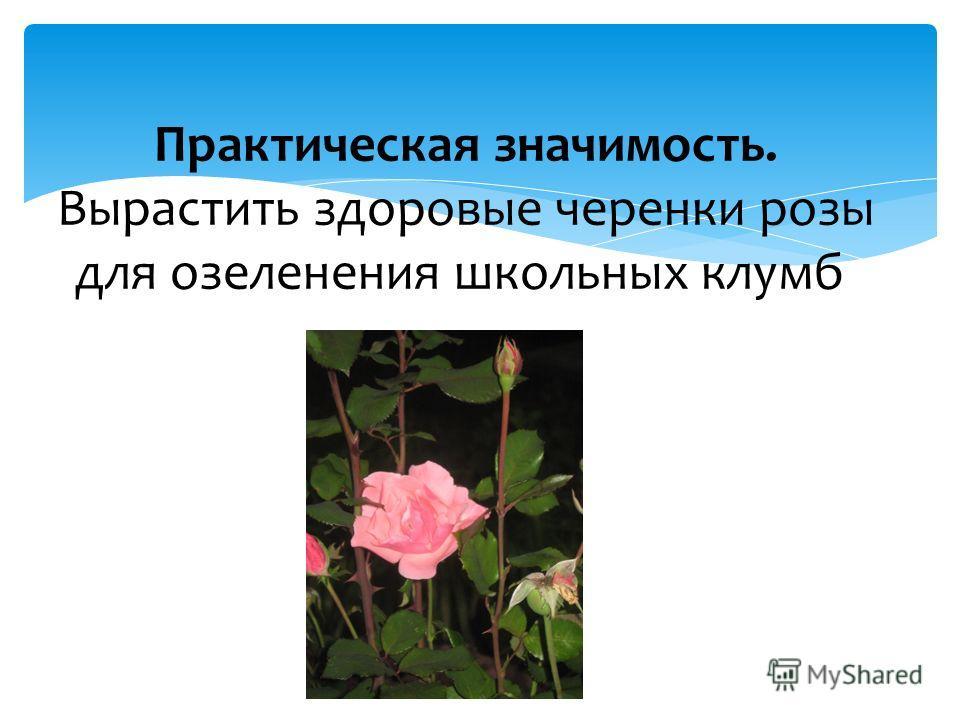 Практическая значимость. Вырастить здоровые черенки розы для озеленения школьных клумб.