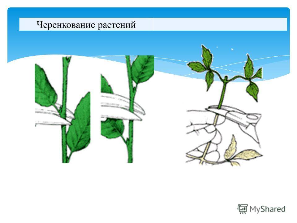 Черенкование растений