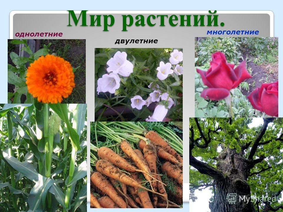 Мир растений. однолетние двулетние многолетние