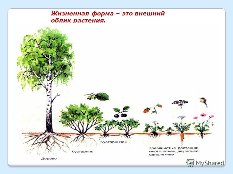 Жизненная форма – это внешний облик растения.