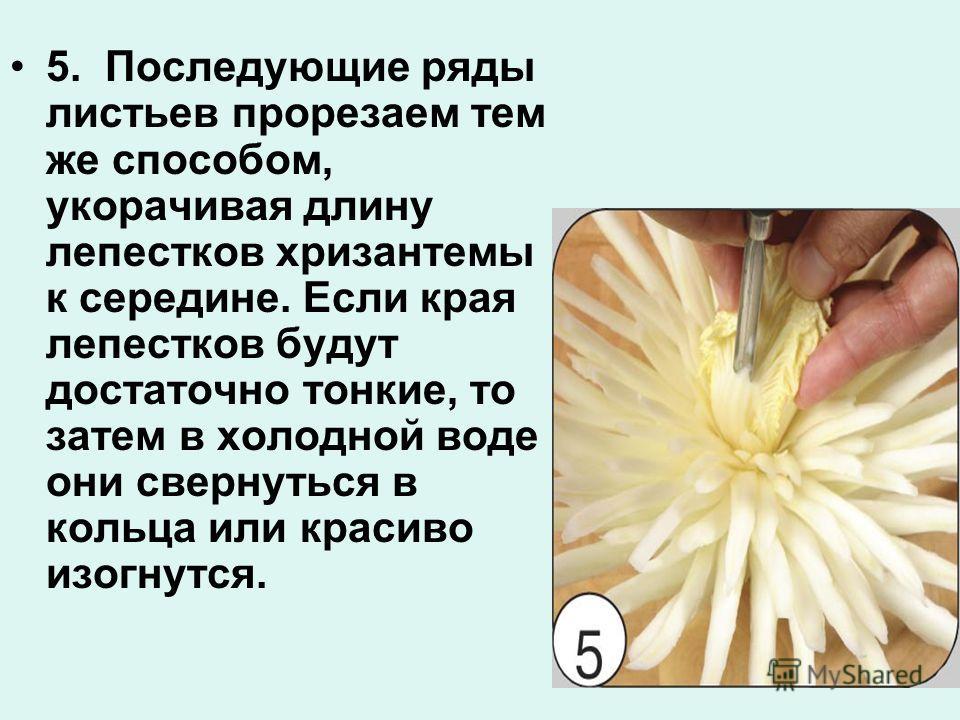 5. Последующие ряды листьев прорезаем тем же способом, укорачивая длину лепестков хризантемы к середине. Если края лепестков будут достаточно тонкие, то затем в холодной воде они свернуться в кольца или красиво изогнутся.