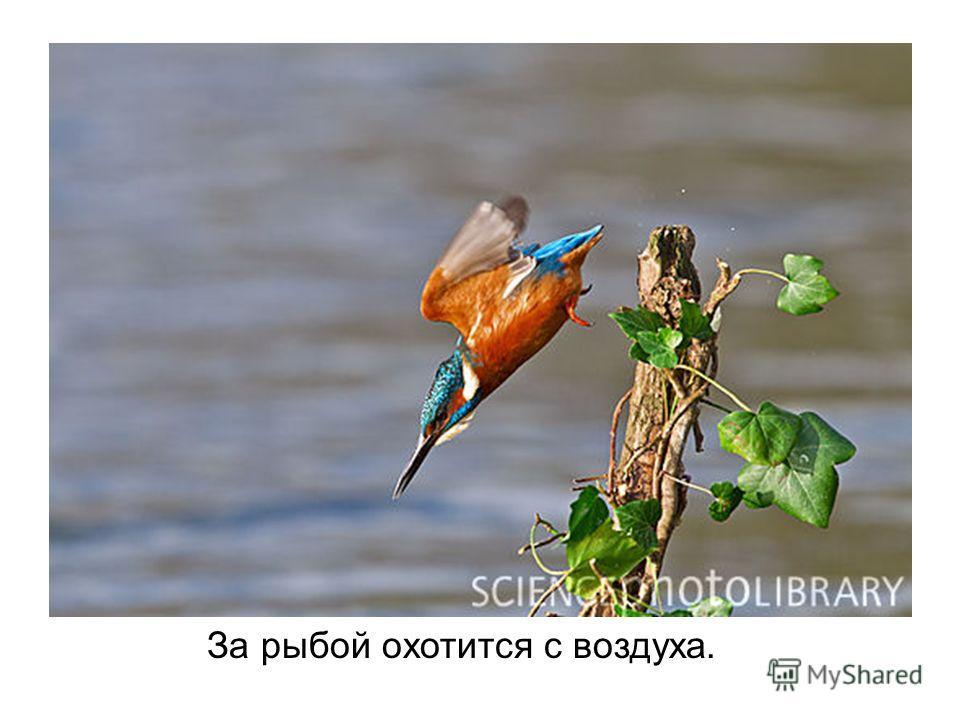 За рыбой охотится с воздуха.