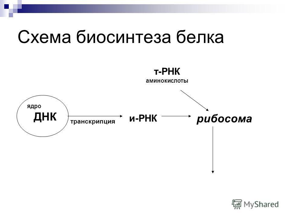 Схема биосинтеза белка