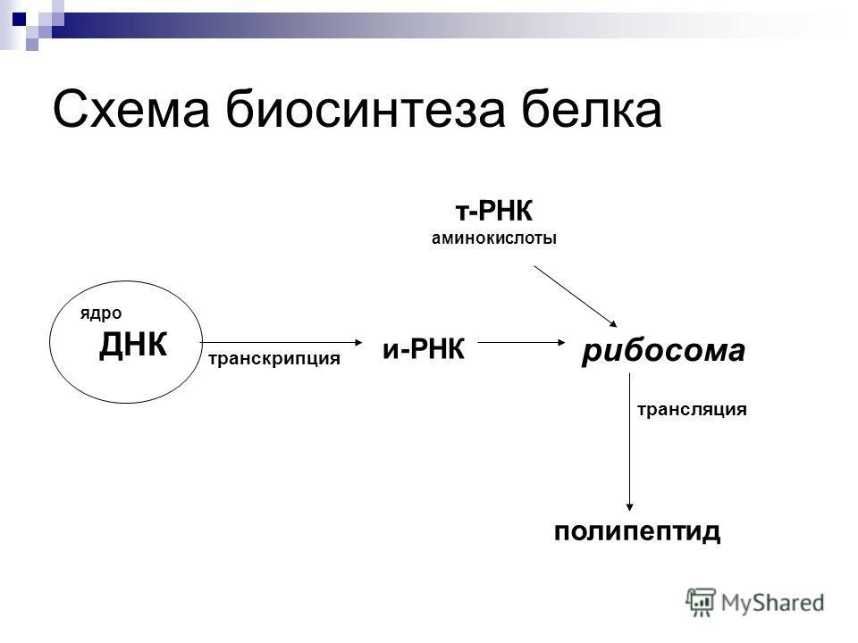 Схема биосинтеза белка транскрипция и-РНК рибосома трансляция полипептид т-РНК аминокислоты ядро ДНК