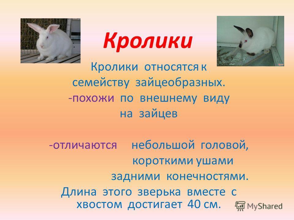 Кролики Кролики относятся к семейству зайцеобразных. -похожи по внешнему виду на зайцев -отличаются небольшой головой, короткими ушами задними конечностями. Длина этого зверька вместе с хвостом достигает 40 см.