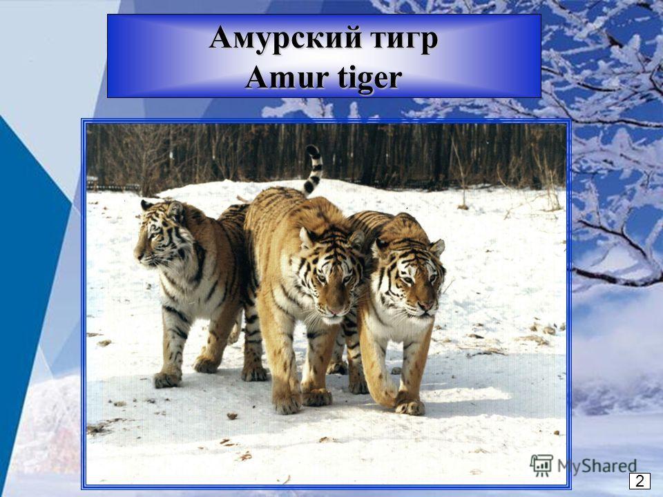 2 Амурский тигр Amur tiger