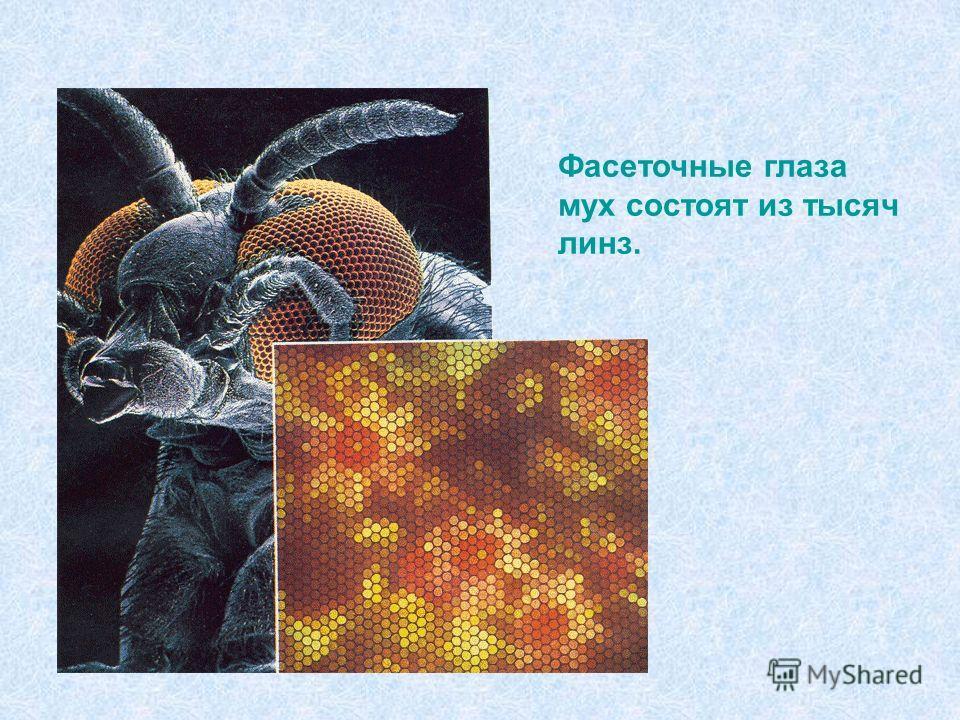 Фасеточные глаза мух состоят из тысяч линз.