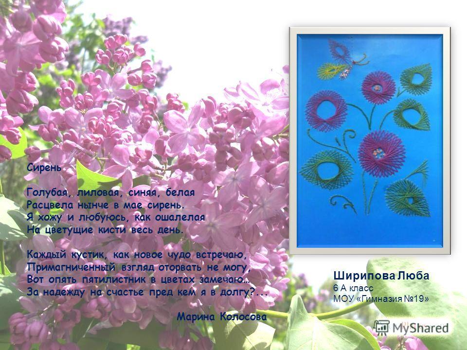 Сирень Голубая, лиловая, синяя, белая Расцвела нынче в мае сирень. Я хожу и любуюсь, как ошалелая На цветущие кисти весь день. Каждый кустик, как новое чудо встречаю, Примагниченный взгляд оторвать не могу, Вот опять пятилистник в цветах замечаю… За