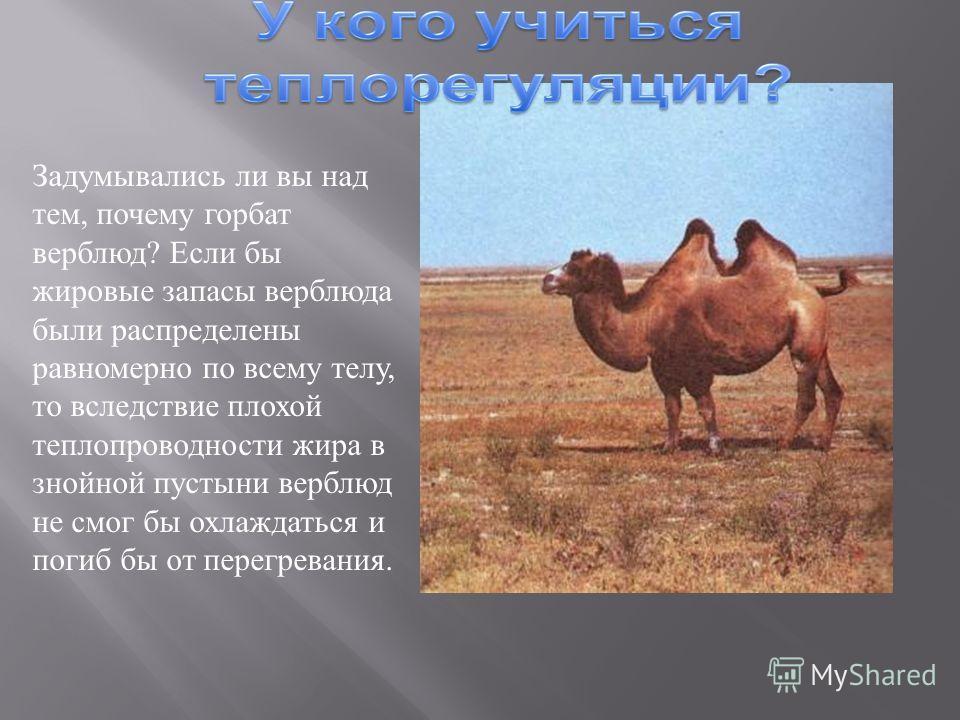 Задумывались ли вы над тем, почему горбат верблюд ? Если бы жировые запасы верблюда были распределены равномерно по всему телу, то вследствие плохой теплопроводности жира в знойной пустыни верблюд не смог бы охлаждаться и погиб бы от перегревания.