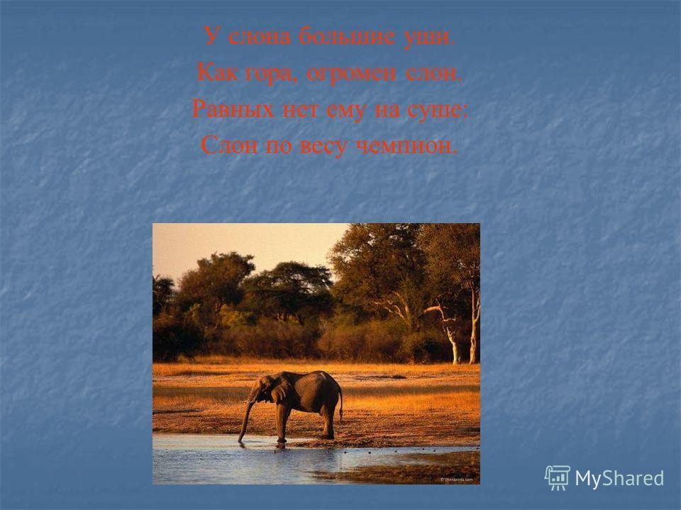 У слона большие уши. Как гора, огромен слон. Равных нет ему на суше: Слон по весу чемпион.